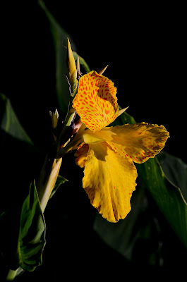 Iris  di Wilmanna