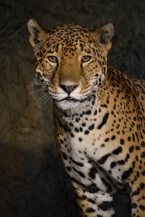 Jaguar by Rachel Schroeder - Animals Lions, Tigers & Big Cats