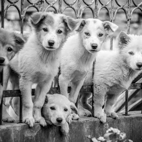 Puppies in Fence by Kriswanto Ginting's - Black & White Animals ( fence, anjing, puppies, dogs, black and white,  )