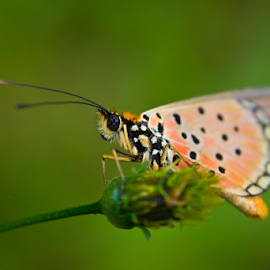 butterlfy on a weed by Peet Snyder - Animals Insects & Spiders ( orange, fly, natural, nature, bug, butterfly, wings, insect, wing,  )