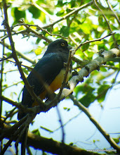 Photo: Citreoline Trogon; Peso Island