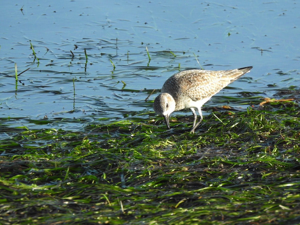 Black bellied plover (non breeding)