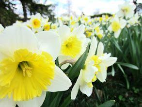 Photo: Beautiful white and yellow daffodils at Cox Arboretum in Dayton, Ohio.