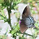 'Garcia' Tiger swallowtail Female