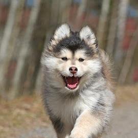 On the move by Mia Ikonen - Animals - Dogs Puppies ( running, mia ikonen, finnish lapphund, happy, canine, fun, pet, finland )