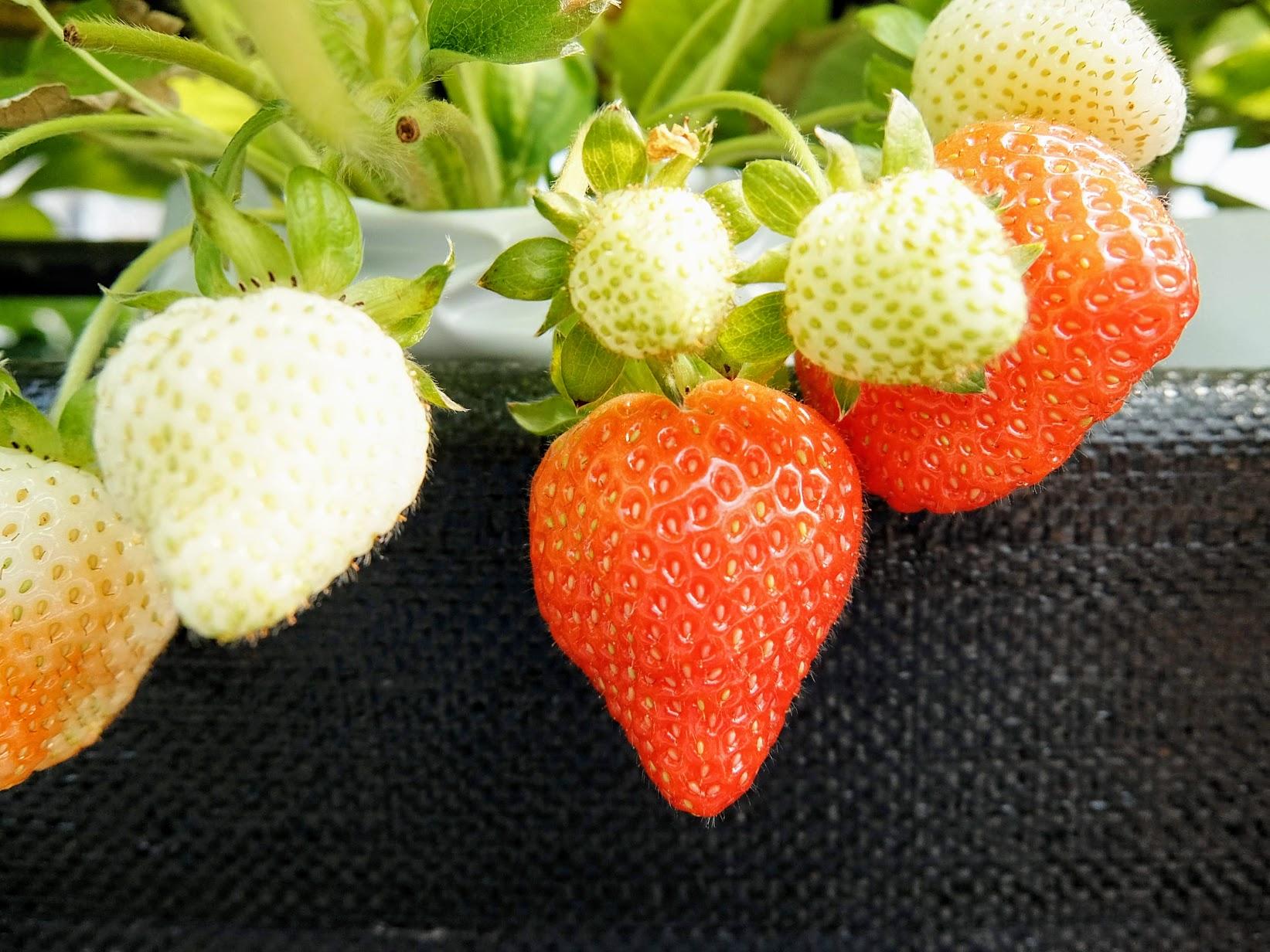 這時期的草莓沒有冬天草莓的甜,帶著點偏酸口感