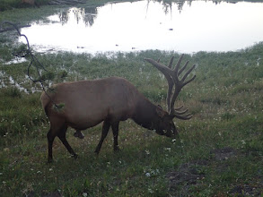 Photo: Bull Elk in Yellowstone- 2015