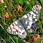 Esper's Marbled White Butterfly
