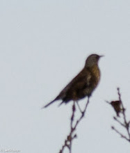 Photo: Fieldfare