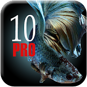10 Easy Steps Breed Bettas PRO