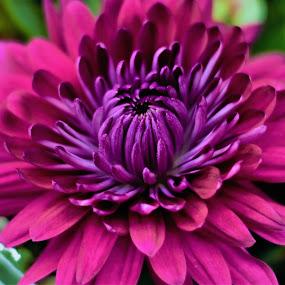 Chrysanthemum by Maria Epperhart - Flowers Flower Arangements ( nature, colors, beautiful, plants, flowers,  )