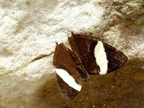Photo: SMALL (DIRCE) BEAUTY--colobura dirce--RIO CHALUAYACU, NAPO