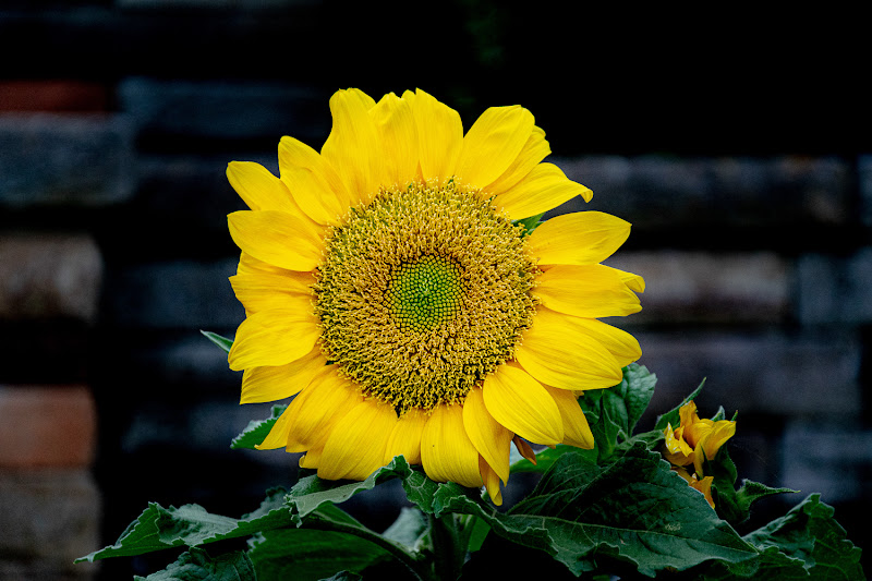 Sunflower di Morellato Marco