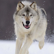 Wolf Dog Simulator