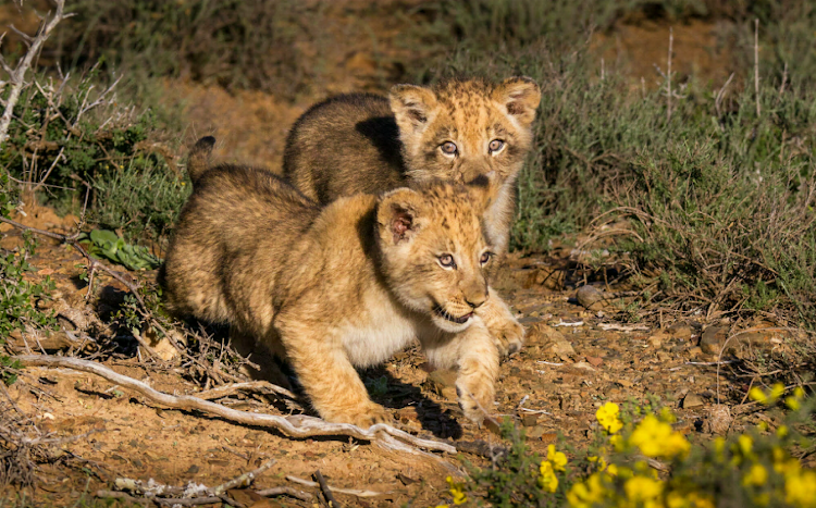 Nicka's two cubs