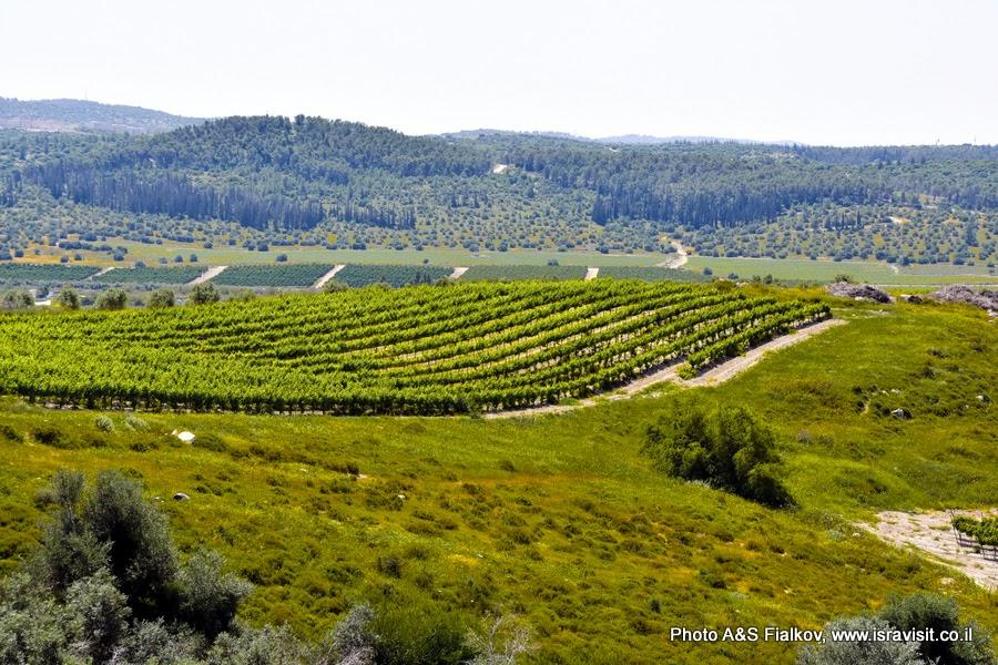 Виноградники у западных склонов Иудейских гор.