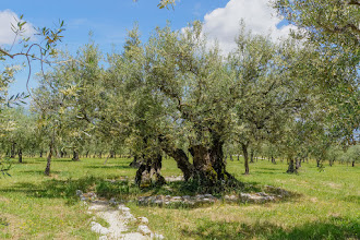 Photo: The second oldest olive tree in Italy (or so we were told)
