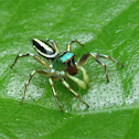 Shiny jumping spider