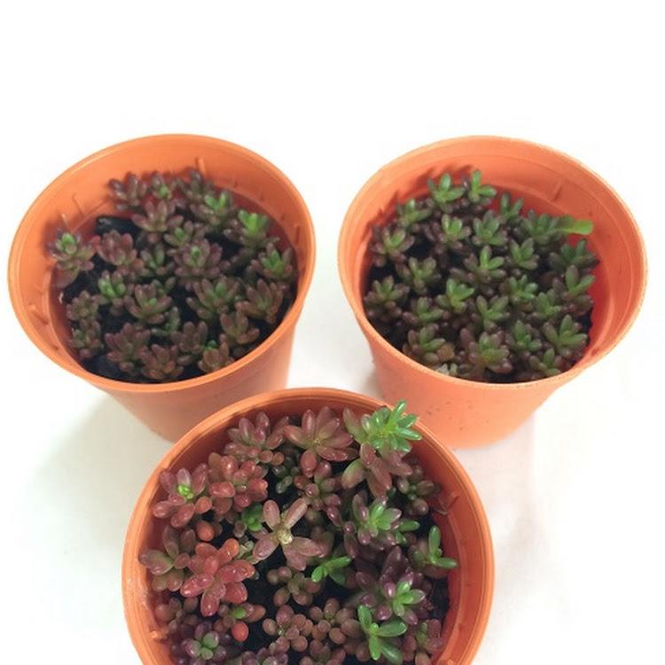 Succulent Plant - Portulaca Gilliesii - 1.5inch pots (3x)