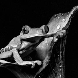 Tree frog by Garry Chisholm - Black & White Animals ( macro, nature, tree frog, amphibian, garry chisholm )