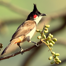 Red whiskered bulbul by Manoj Kulkarni - Animals Birds ( red, green, whiskered, nature, background, bird, bulbul, wildlife )