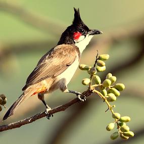 Red whiskered bulbul by Manoj Kulkarni - Animals Birds ( red, green, whiskered, nature, background, bird, bulbul, wildlife )