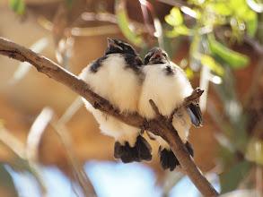 Photo: Wille Wagtail Chicks - Yerrabi Pond