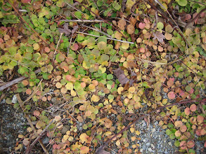 Photo: Moneywort, 11.8