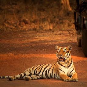 Royal Roadblock. by Kaustubh Mulay - Animals Lions, Tigers & Big Cats ( tigress, tiger, tiger reserve, wildlife, stripes, indian wildlife, national park, safari, roadblock, tadoba-andhari, tadoba, india, maharashtra, animal, motion, animals in motion, pwc76 )