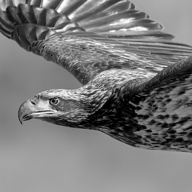 Immature Bald Eagle by Debbie Quick - Black & White Animals ( raptor, debbie quick, nature, maryland, bald eagle, debs creative images, conowingo dam, birds of prey, outdoors, bird, eagle, darlington, animal, susquehanna river, black and white, wild, wildlife )