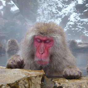 A Japanese Macaque relaxes by Allanah Faherty - Animals Other Mammals ( japan, winter, relax, onsen, monkey, spa, animal )