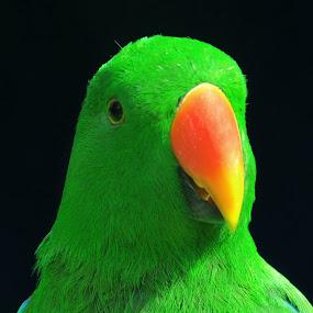 nuri by Ignatius Kukuh - Animals Birds ( close up, birds, animal )