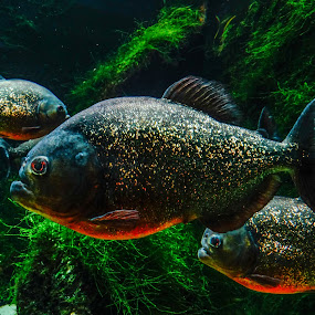 Piranhas! by Shivaang Sharma - Novices Only Wildlife ( water, uk, piranha, london, nature, grass, underwater, fish, piranhas!, animal wildlife )