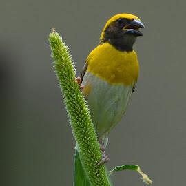 baya weaver by Sanjiv Khanna - Animals Birds ( nature, love_birds, baya, birds, save_earth )