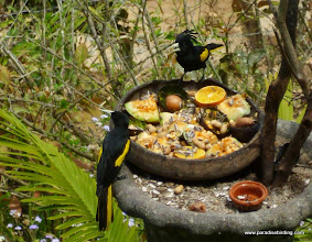 Photo: Yellow-winged Caciques, Vallarta Botanical Gardens