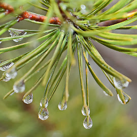 Water Drops on Pine Needles by Bill Diller - Nature Up Close Trees & Bushes ( rain, michgian, winter, pine trees, pine needles )