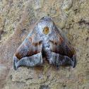 Moth - Menevia plagiata