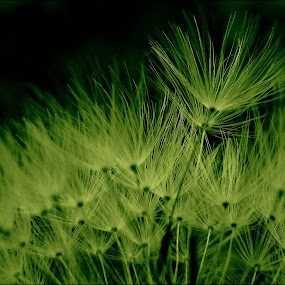 *** by Adriana Petcu - Abstract Patterns ( macro, dandelion, nature, green, fluff )