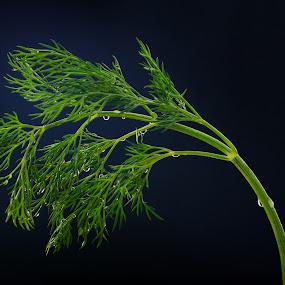 Dill by Dmitriy Yanushevichus - Food & Drink Ingredients ( plant, seasoning, blue, still life, food, background, dill, drops, dark, healthy food, health, spices )