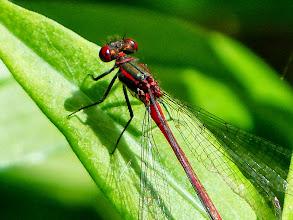 Photo: Frühe Adonislibelle (Pyrrhosoma nymphula) 2