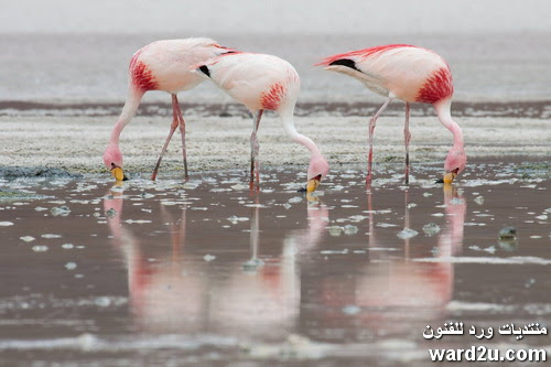 طائر الفلامنجو اجمل طيور العالم