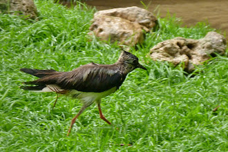 Photo: Kiebitz (Vanellus vanellus)  Verbreitungsgebiet: Brit. Inseln bis Mongolei