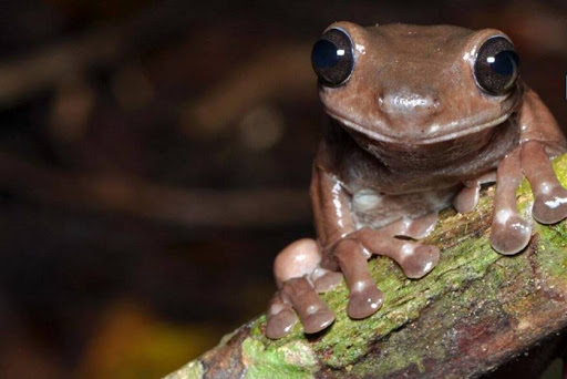 """New species discovery: Meet New Guinea's """"chocolate frog"""""""
