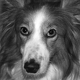 Close Ruby by Chrissie Barrow - Black & White Animals ( monochrome, black and white, sheltie cross, pet, grey, dog, mono, nose, closeup, portrait, eyes, animal )