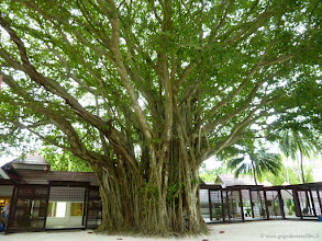 Photo: #012-Kani, le plus vieux banyan des Maldives (186 ans).