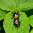 metallic shield bugs