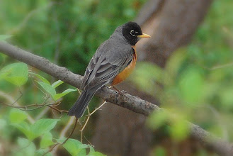 Photo: 11 ... Black Headed Male Red Breasted Robin ... in a park nearby where I work