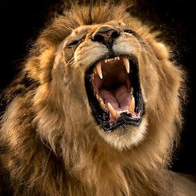 Roar by Joyce Chang - Animals Lions, Tigers & Big Cats ( lion, big cats, roar, male, teeth,  )