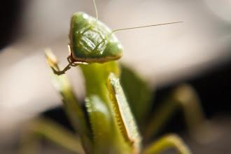 Photo: Praying mantis