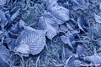 Photo: Frozen leaves on my way home.  北欧ノルウェーは雪世界。  #FrostFriday